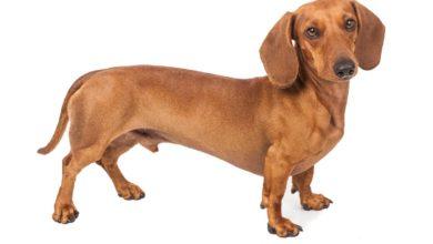 Photo of Tutto sui bassotti, carattere, aspetto ed educazione dei cuccioli