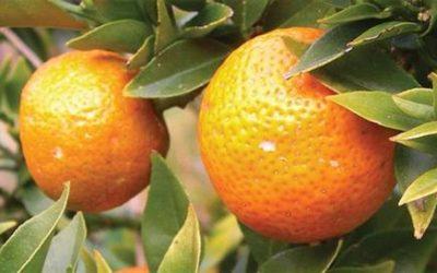 Tutto sul chinotto: proprietà, benefici e ricette