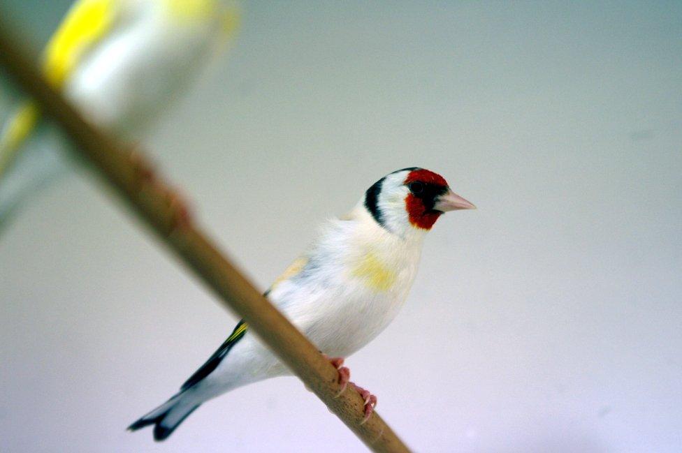 Photo of Cardellino: cose da sapere su questo magnifico uccellino