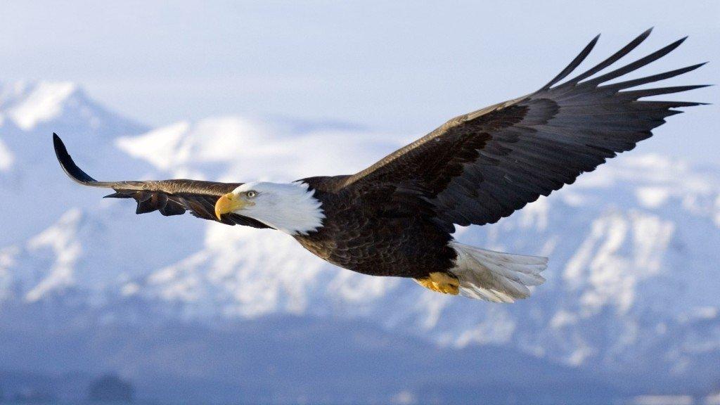 Photo of Aquila reale: immagini e curiosità della regina dei cieli