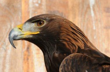 Aquila reale: immagini e curiosità della regina dei cieli