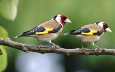 Cardellino: cose da sapere su questo magnifico uccellino