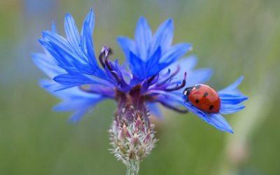 Fiordaliso: coltivazione, cure e proprietà
