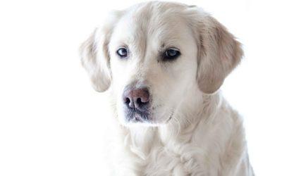 Labrador Retriever: aspetto, cura e carattere