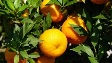 Photo of Tutto sul chinotto: proprietà di questo agrume, i benefici e le principali ricette