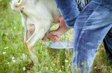Quali sono le particolarità del latte di capra e a chi è adatto