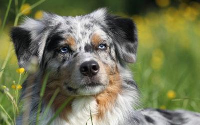 Cane Pastore Australiano o Australian Shepherd: aspetto, cura e carattere
