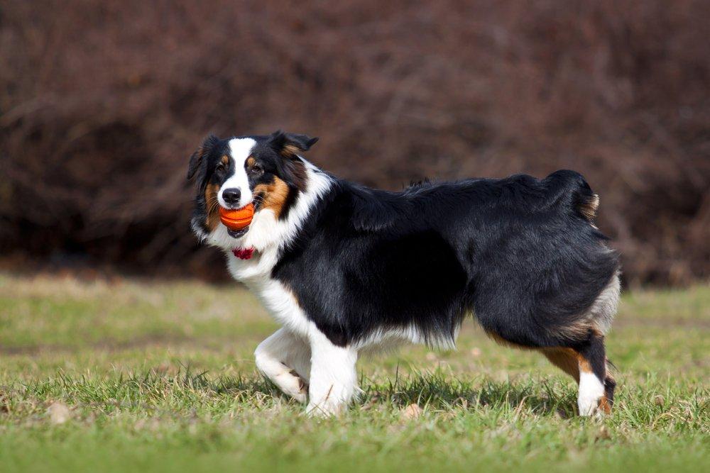 Photo of Cane Pastore Australiano o Australian Shepherd: aspetto, cura e carattere
