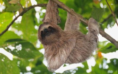 """Bradipo: caratteristiche e curiosità sul mammifero """"dormiglione"""""""