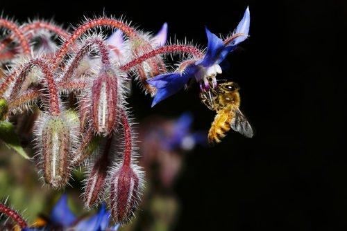 borragine fiore