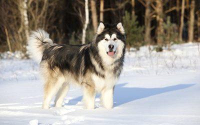 Alaskan Malamute: aspetto, carattere e cura