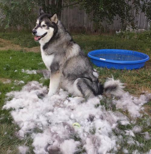 Photo of Alaskan Malamute: aspetto, carattere e cura