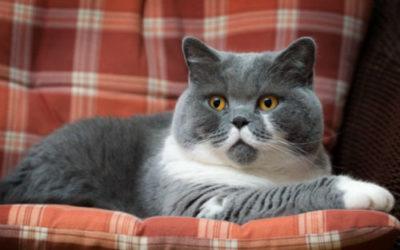 Gatto British Shorthair Educazione Allevamenti E Prezzi Tuttogreen