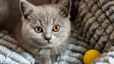 Photo of Tutto sul gatto British Shorthair, il gatto più popolare in Gran Bretagna