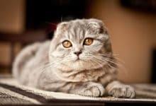Photo of I segreti del gatto Scottish Fold, il gatto dalle caratteristiche orecchie piegate all'ingiù