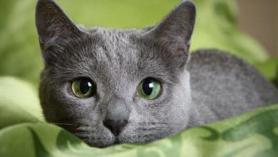 Photo of Tutto sul Gatto Blu di Russia, un gatto elegante che ama la vita d'appartamento