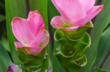 Guida ai benefici ed alle proprietà della curcuma con anche controindicazioni e tante ricette anche di bellezza