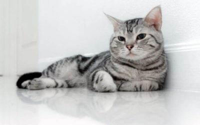 American Shorthair: carattere ed educazione di questo gatto