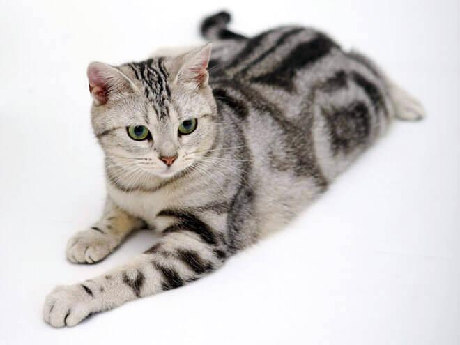 Photo of American Shorthair: carattere ed educazione di questo gatto