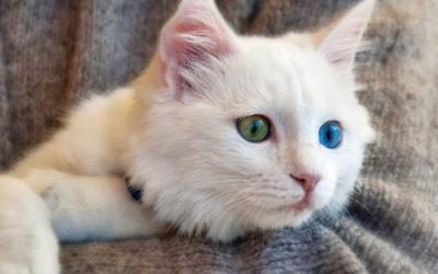 Gatto di angora turco, carattere, aspetto e come allevarlo