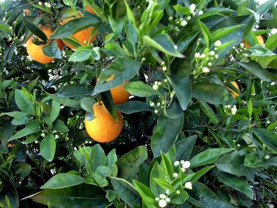 Photo of Olio essenziale di arancio amaro: tutte le proprietà