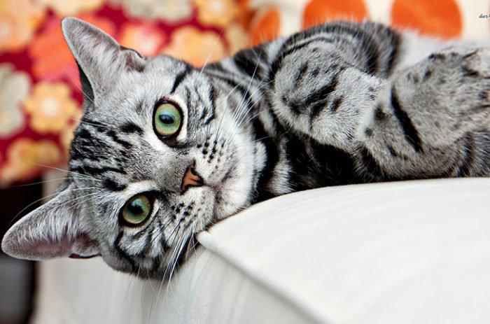 Il Gatto American Shorthair Carattere Educazione E Prezzo Tuttogreen