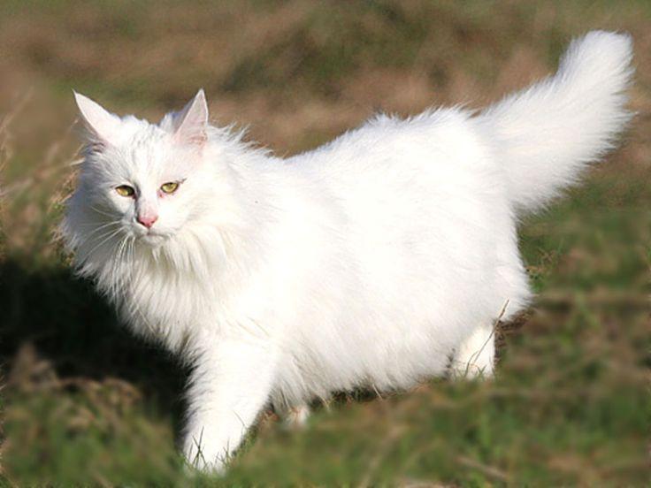 Photo of Gatto di angora turco, carattere, aspetto e come allevarlo