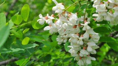 Photo of Guida alle proprietà dell'acacia e agli utilizzi in cucina di questa pianta