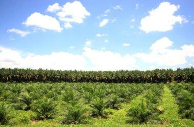 Olio Di Palma Fa Male Effetti Su Salute E Ambiente