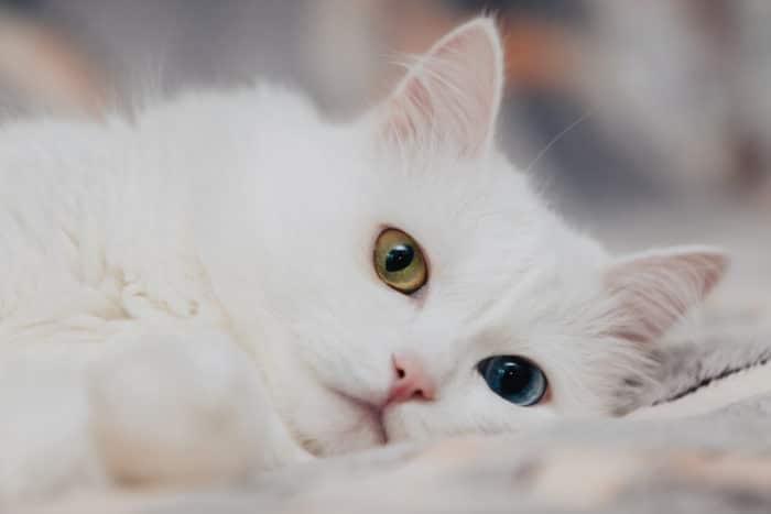 gatto di angora