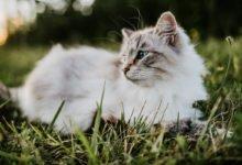 Photo of Gatto sacro di Birmania, un felino socievole tutto da scoprire