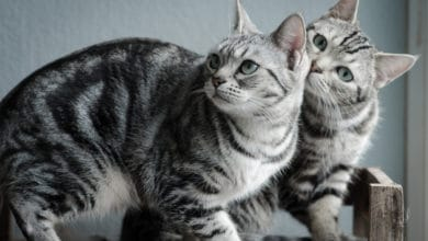 "Photo of Scopriamo l'American Shorthair, il ""cugino"" americano del British"