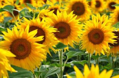 Girasole: la coltivazione, la cura e alcune informazioni utili sui suoi semi e sull'olio