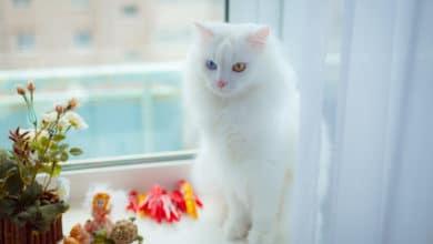 Photo of Gatto di angora turco, un gatto accompagnato da tante legggende