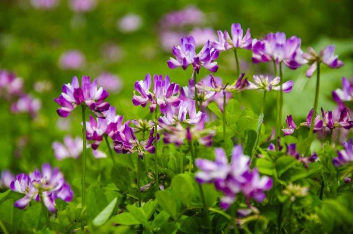 fiori di astragalo
