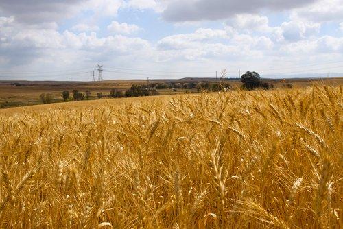 Photo of Ruggine del grano: cos'è e perché è nociva