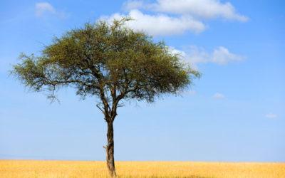 Guida alle proprietà dell'acacia e agli utilizzi in cucina di questa pianta