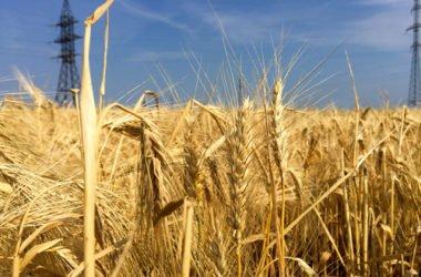 Ruggine del grano: cos'è e perché è nociva