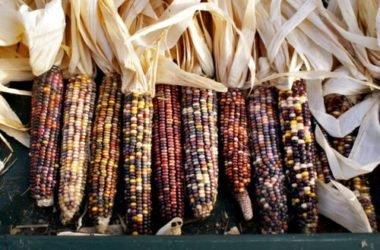 Il mais, quali sono le sue proprietà e gli utilizzi
