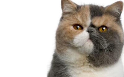 Gatto Exotic Shorthair: carattere, cura e cose da sapere