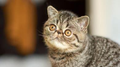 Photo of Quello che c'è da sapere sul gatto Exotic Shorthair, una razza nata da una selezione recente