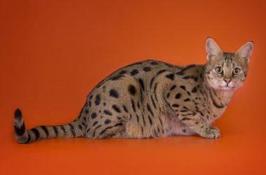 Ashera: ecco il gatto più caro del Mondo