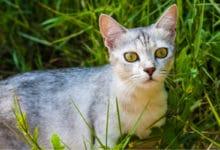 Photo of Tutto sul gatto Burmilla, una razza che deriva dall'incrocio di Persiano e Burmese