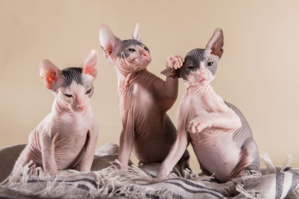 sphynx-carattere