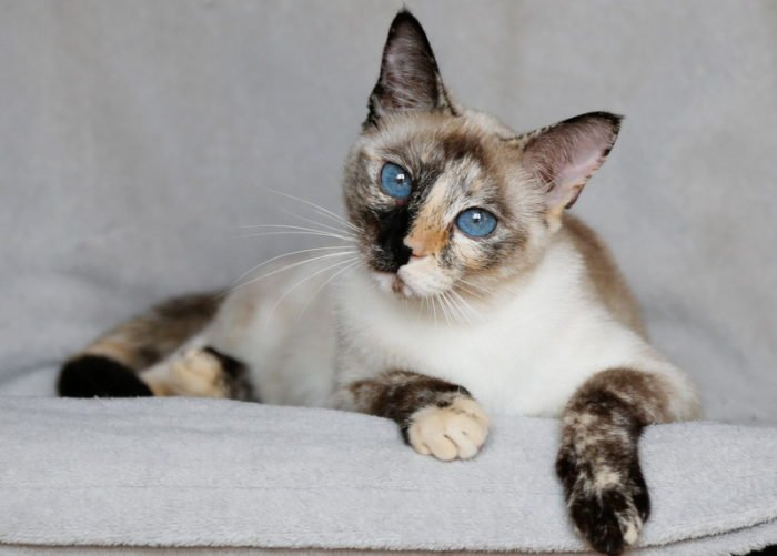 thai cat tortie