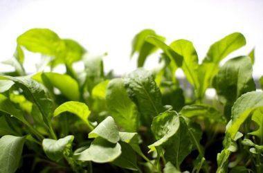 La rucola: una verdura fantastica, dalle tante proprietà da scoprire