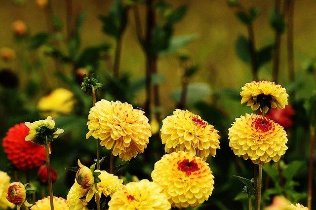 Photo of Come coltivare la dalia: varietà, consigli e cure