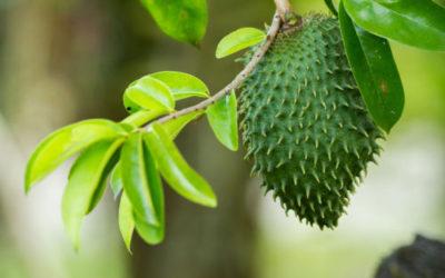 Guanabana, vero miracolo anticancro o no?