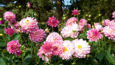Photo of Come coltivare la dalia a seconda delle varietà: consigli e cure