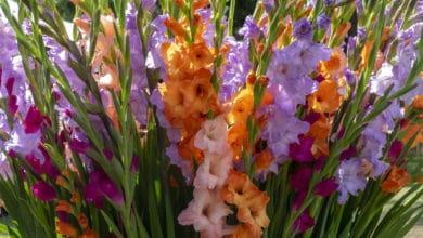Photo of Tutto sul gladiolo, uno dei fiori più apprezzati per il suo potenziale decorativo